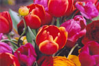 Spring tulip greeting cards from Miriam Grebe